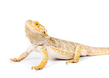 Bearded Dragon. Picture of a yellow bearded dragon stock image