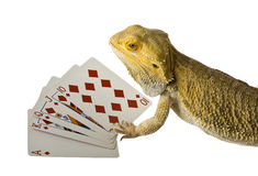 Bearded dragon playing cards Stock Photo