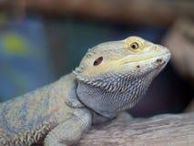 Bearded Dragon (Pogona). A Bearded Dragon (Pogona) lizard with good eye contact with the camera Royalty Free Stock Photo