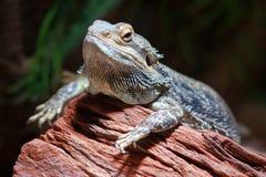 Bearded dragon (Pogona) Royalty Free Stock Photography