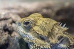 Bearded dragon, Pogona close up, shallow dof.