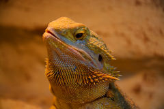 Bearded Dragon Royalty Free Stock Photos