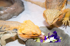 Bearded dragon. Pogona is a genus of reptiles containing eight species, which are often known by the common name bearded dragons. The term bearded dragon is most Royalty Free Stock Photos