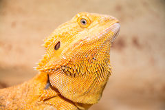 Bearded dragon. Pogona is a genus of reptiles containing eight species, which are often known by the common name bearded dragons. The term bearded dragon is most Stock Photography
