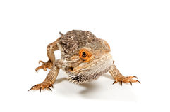 Bearded Dragon (pogona vitticeps). Isolated on a white background royalty free stock photography