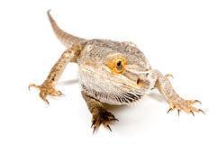 Bearded Dragon (pogona vitticeps). Isolated on a white background stock photography