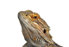 Bearded Dragon - pogona vitticeps. Bearded Dragon in front of a white background Stock Photos