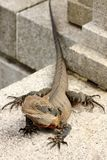 Bearded dragon (pogona vitticeps) Stock Image