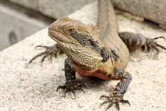 Bearded dragon (pogona vitticeps). Basks in the sun Royalty Free Stock Image