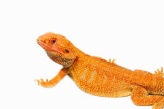 Bearded dragon (pogona vitticeps) Royalty Free Stock Images