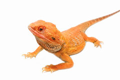Bearded dragon(pogona vitticeps) Royalty Free Stock Images