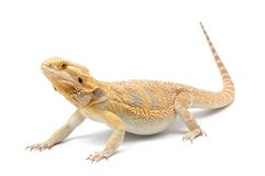 Bearded Dragon (Pogona vitticeps) Stock Photos