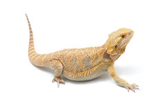 Bearded Dragon (Pogona vitticeps) Stock Images