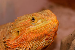 Bearded dragon (Pogona vitticeps) Stock Photography