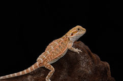 Bearded dragon (Pogona vitticeps) Stock Photo