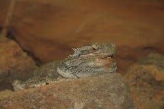 Bearded Dragon   (Pogona vitticeps). The Bearded Dragon (Pogona) is a genus of the family of Agamas Squamata from Royalty Free Stock Photos