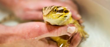 A Bearded Dragon Pogona vitticeps getting a bath by his owner stock photo