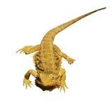 Bearded dragon or pogona vitticeps isolated on white Stock Photos