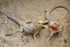 Bearded dragon or pogona vitticeps Stock Images