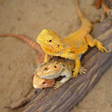 Bearded dragon or pogona vitticeps Royalty Free Stock Photo