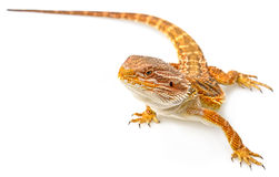 Bearded dragon. Pogona vitticeps on a white background royalty free stock image
