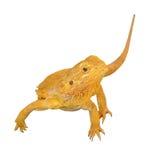 Bearded dragon or pogona vitticeps on white background Stock Images