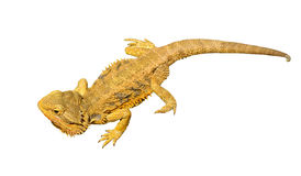 Bearded dragon or pogona vitticeps on white background Stock Photography