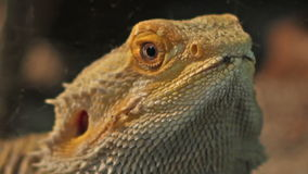 Bearded Dragon Portrait. Close up shot with the bearded dragon reptile