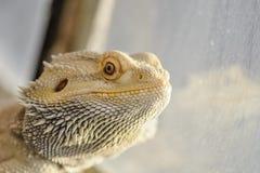 Pogona vitticeps. Bearded dragon portrait with reflexion on the terrarium window Royalty Free Stock Image