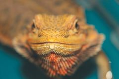 Bearded Dragon - Posing like a champ on a large boulder with soft focus stock photography