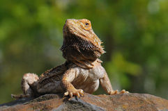 Bearded Dragon Stock Photography
