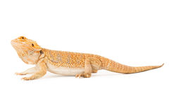 Bearded Dragon Profile Stock Image