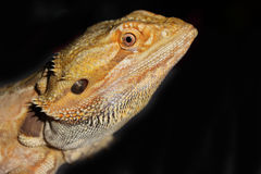 Bearded Dragon with Red and Orange Markings Royalty Free Stock Photos
