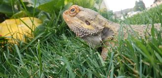 Mr lizard. Bearded dragon relaxing In yard royalty free stock photos