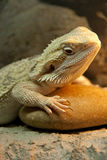 Bearded Dragon reptile Stock Photos