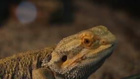 Bearded Dragon Reptile stock video