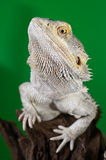 Bearded dragon reptile lizard on a branch on green blurred backg Stock Image