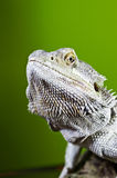 Bearded dragon reptile lizard on a branch on green blurred backg Stock Photography