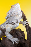 Bearded dragon reptile lizard on a branch on yellow background Stock Photo