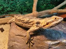 Bearded Dragon on Rock with sand. Bearded Dragon stood on Rock with sand and wood. The reptile is in a vivarium Stock Images