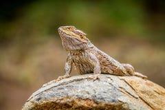 Bearded dragon on a rock Stock Photo