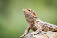 Bearded dragon on a rock. Royalty Free Stock Photos