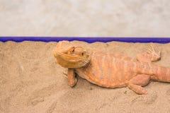 Bearded Dragon on sand Stock Photos
