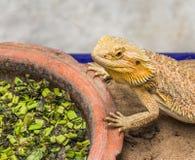 Bearded Dragon on sand Stock Photography