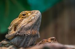 Bearded Dragon Selective Focus Photography Stock Image