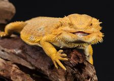 Bearded dragon sitting on a branch royalty free stock photo