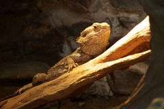 Bearded Dragon. Sitting on a log at Tropiquaria, Somerset stock image