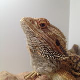 Bearded Dragon Staring royalty free stock photos