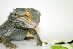 Bearded Dragon Staring at Food. Adult Australian Inland Bearded Dragon staring intently at some lettuce Stock Photography