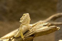 Bearded dragon on a stick. Here is a photo of a lizard sitting on a stick Royalty Free Stock Image
